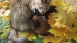 Осенний привет от Мурки и Барсика Сибирская кошка Сиамский кот  ВИДЕО ПРО КОТОВ