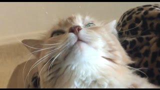 FUNNY CAT - BLUES CAT.... BLISS CAT..... КОТ-КАЙФУН, точка G моего кота :) 2016(ПОМОЩЬ ЭМИГРАНТАМ в США - http://ru-florida.com Мы рады помочь всем, кто собирается на отдых или ПМЖ в США, солнечный..., 2016-02-21T04:27:06.000Z)