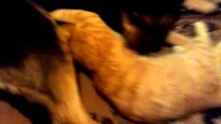 Кот Антон сосёт грудь у собаки РЖАКА.