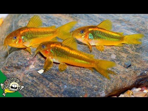 Orange Laser Corydoras Spawning - Aquarium Co-Op