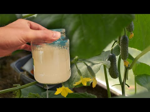 Огурцы перестанут желтеть и высыхать листья, подлейте это!