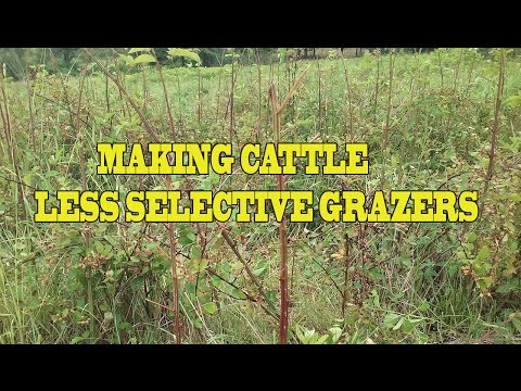 Turning Cattle Into Competitive Eaters With Mob Grazing