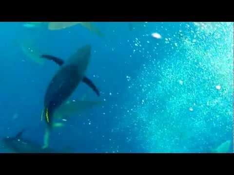 Cocos Island bait ball 5-30-12 (20 min event)