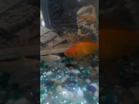 Catfish albino baby channel cat. 3/22/17