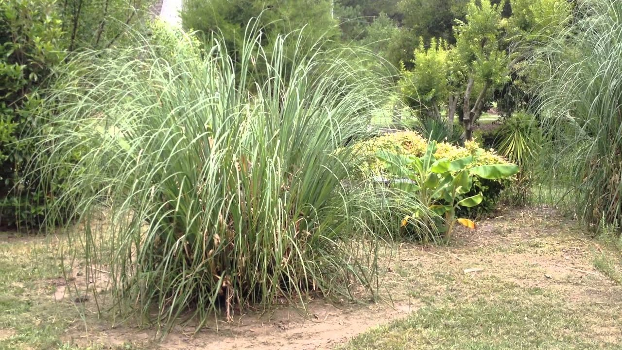 How To Trim Or Burn Pampas Grass The Next Growing Season