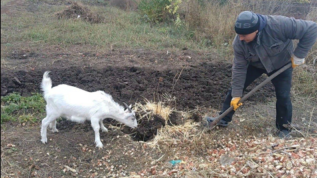 Решили сдать свиноматку!Копаю огород под чеснок!