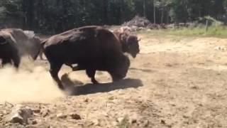 Buffalo Bull Grunting