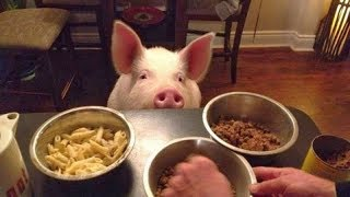 These FUNNY PIGS will make even the WORST day BETTER! - Funny PIG compilation