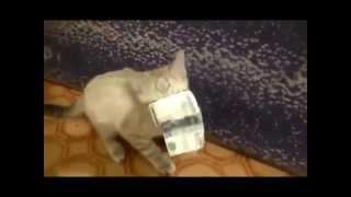 Котенок украл деньги на валерьянку, мега ржач приколы с животными, декабрь 2014