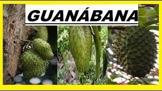 guanábana beneficios