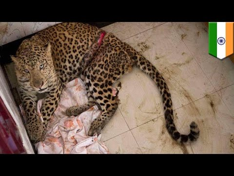Wildlife up close: Leopard gatecrashes newlywed couple's honeymoon in India - TomoNews