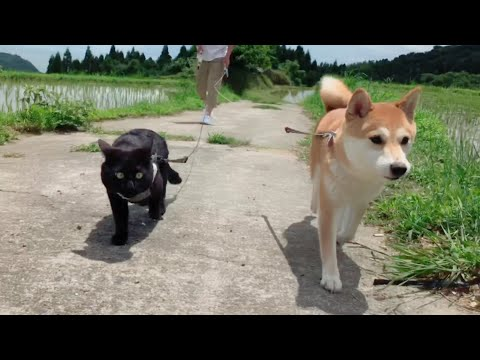 【西郷どんロケ地】棚田でお散歩 Dog and Cat walk in the rice terrace.