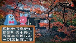《道哥和摩尔》秋天枫叶为什么会变红?| CCTV少儿