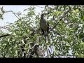 Northern Mockingbird song