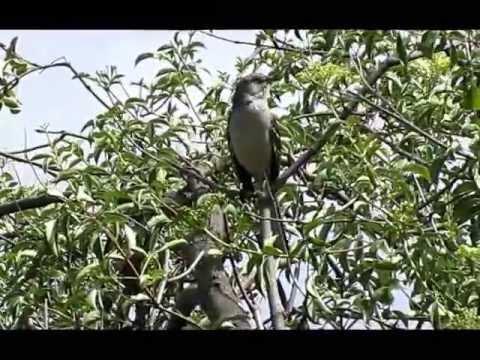 Northern Mockingbird song