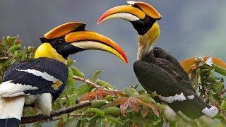 Beautiful Wild Bird – Great Hornbill