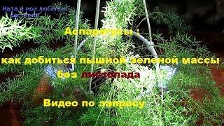 Аспарагусы : как добиться пышной зеленой массы, без листопада .- Видео по запросу