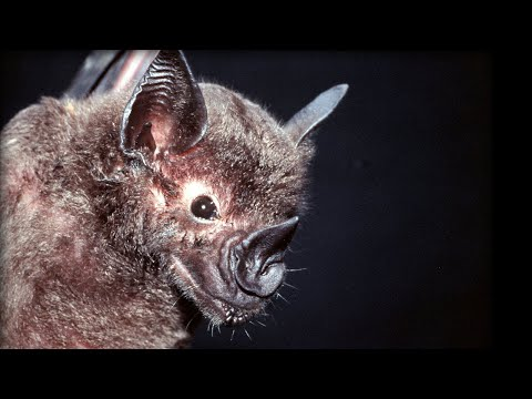 Bats hunting their prey - Top Bat - BBC