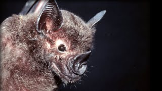 Bats hunting their prey - Top Bat - BBC thumbnail