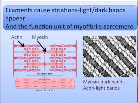 Muscle Anatomy and Physiology Song