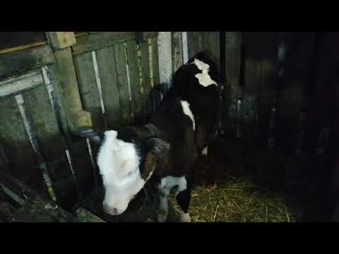 Как определить возраст коровы, телки