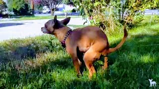 🔥💩💩🔥 tiny dog takes a massive poop 5  🦊 so satisfying