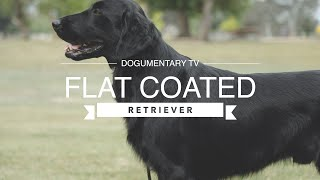LOVING THE FLAT COATED RETRIEVER