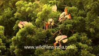 Painted stork colony on a  Neem tree, India