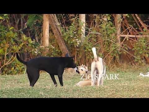 Summer Village RuralDogs!! Miniature Pinscher Vs Anatolian Shepherd Dog in Wat Svay Village