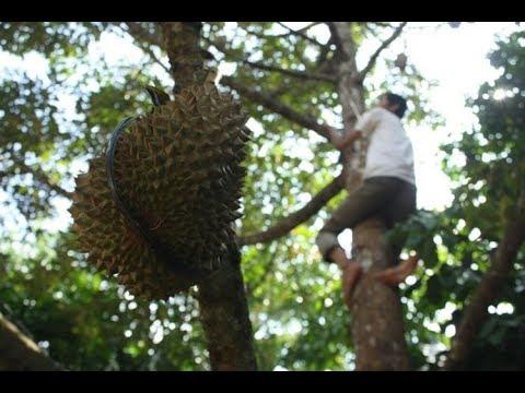Panen Buah Durian Lucu