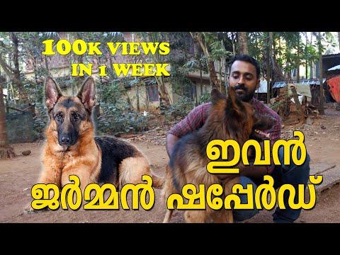German shepherd / ഇവൻ ജർമ്മൻ ഷെപ്പേർഡ്  / dog farming kerala