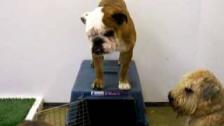 English Bulldog Howling And Barking And Whining