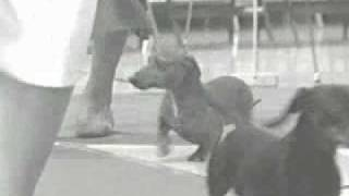 Dachshunds: The History Of The Breed