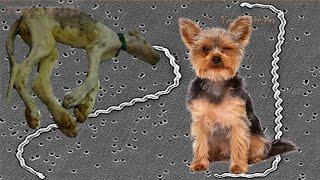 Лептоспироз у собак   Симптомы   Лечение.