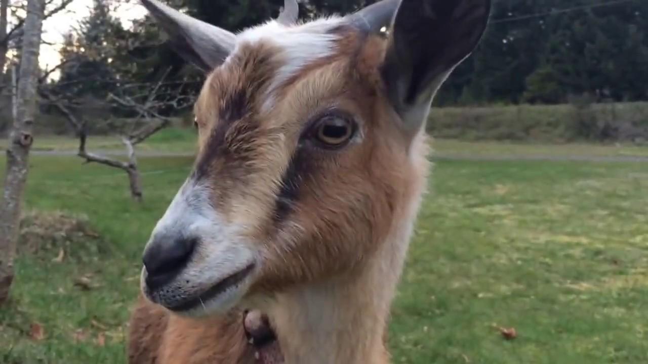 R Goats Good Pets Nigerian dwarf ...