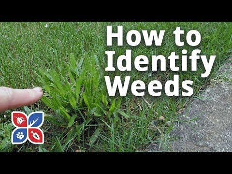 Do My Own Lawn Care Episode 23 How To Identify Weeds In The Yard