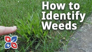 Do My Own Lawn Care - How to Identify Weeds in Grass