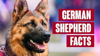 German Shepherd Everything You Need to Know