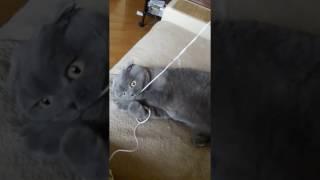 Смешная кошка и наушники! Funny cute cat - Прикольные шотландские коты scottish fold