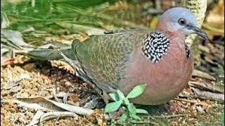Cara membuat jebakan burung menggunakan batu