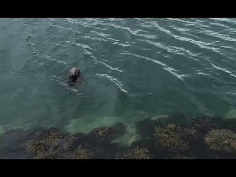 This Seal In Howth That's Learned To Wave At People In Exchange For Fish Is The Hero We Need