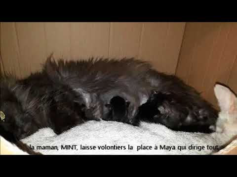 Deux chattes inséparables, MINT maine coon, MAYA savannah