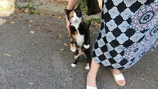 Calico cat is so lovely, she is meowing and trilling for love