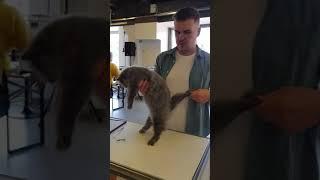 Британский длинношерстный котенок 4 месяца.