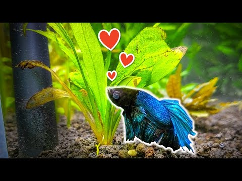 7 Popular Plants For Betta Fish You Need To Try