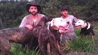 Caçada de Javali com Cães de Agarre