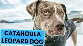 Catahoula Leopard Dog  TOP 10 Interesting Facts