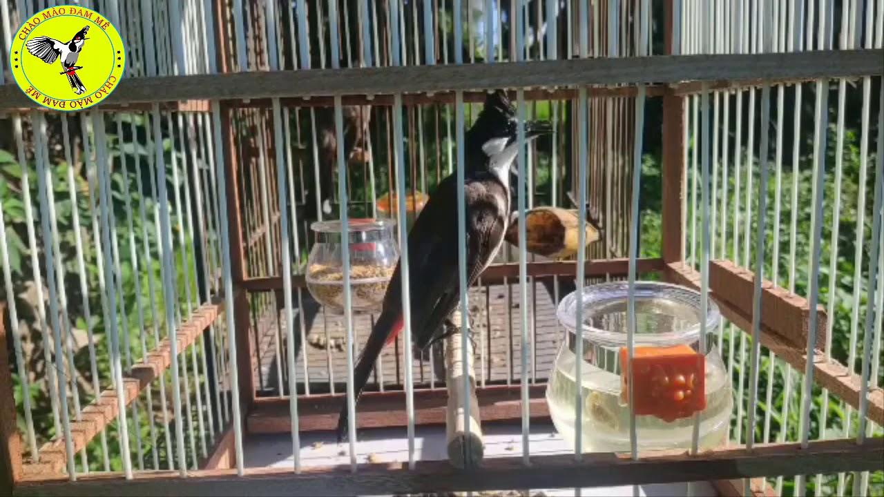 Bộ Chào Mào Bẫy Đấu 13 Ngày Lồng  Bộ Thon Dài Lanh Chim Thái Độ Đấu Nạt Dọa Chim.