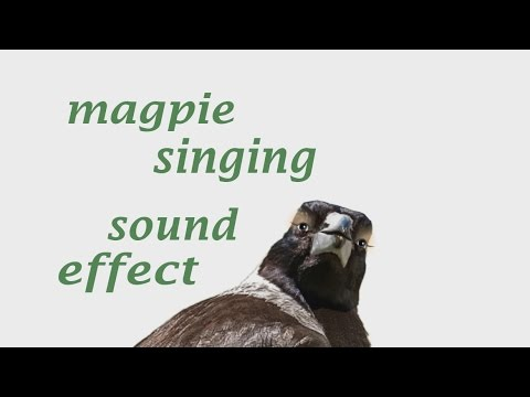 The Animal Sounds:  Magpie Singing - Sound Effect - Animation