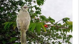 Tiếng Chim Trao Trảo - Hoành Hoạch Hay